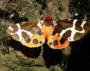 Бабочка мотылек