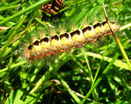 Гусеница бабочки