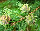 Шишки елки зеленые