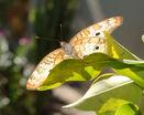 Бабочка сушит крылья