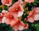 Розовые колокольчики