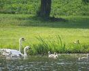 Лебединная семья