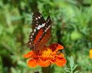 Бабочка махаон на цветке