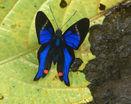 Бабочка с ярко-синими крыльями
