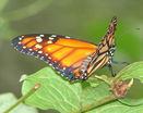 Оранжевая бабочка на листке