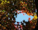 Небо сквозь кленовые листья