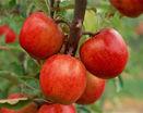 Яблоки красные на ветке