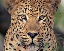Леопард кошка
